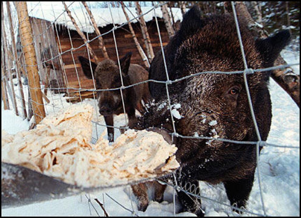 NYTT VILLDYR: Dette bildet er fra villsvinoppdrett på en gård i Lierne i Nord-Trøndelag. Nå observeres det flere og flere ville villsvin i grensetraktene i Østfold. Foto: SCANPIX