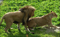 Løveglede i dyreparken: 1, 2, 3.....4!