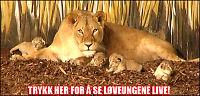 Følg med på løve-ungenes late dager!