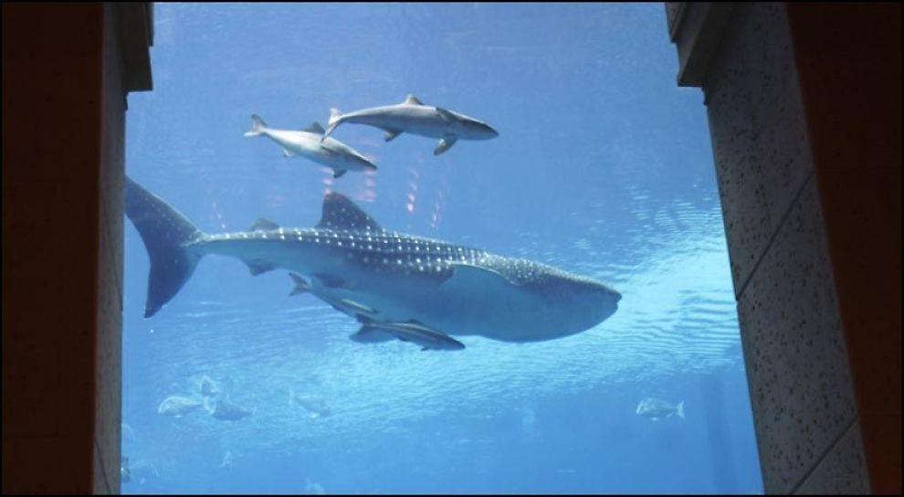 FANGET ELLER REDDET? Hvalhaien Sammy ble hentet fra frihet til gigantakvariet i Palm Atlantis-hotellet i Dubai. Foto: AP.