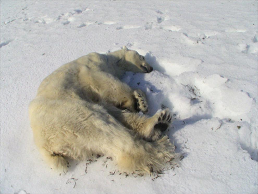SKUTT: En av mannskapet på Hopen ble i natt angrepet av en isbjørn under en fottur, og skjøt isbjørnen i selvforsvar. Foto: Lene Fagerbakke/sysselmannsbetjent