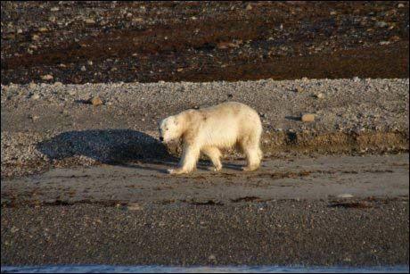 ISBJØRN: En mann måtte skyte en isbjørn i selvforsvar på Svalbard natt til søndag. Isbjørnen på bildet har ikke noe med saken å gjøre. Foto: Kjell Arild Bakke