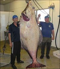 Svenske fiskere fikk monsterkveite!