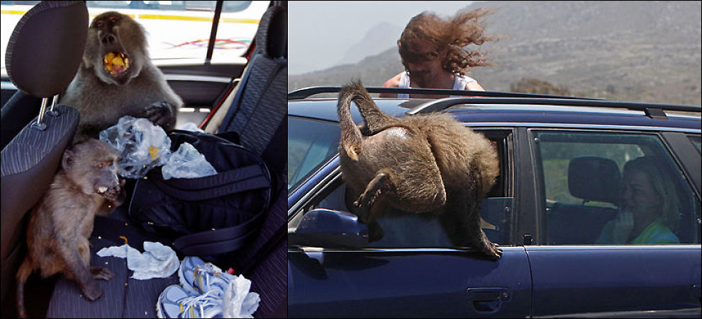 APESTREKER: Bavianer skaper frykt og uro i naturreservater rett utenfor Cape Town. Den store bavianen til venstre kalles Fred, mens den mindre har fått kallenavnet Michael Jackson. Foto: AP