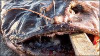 Fanget verdens største breiflabb
