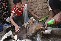 Tohodet kalv født i Egypt