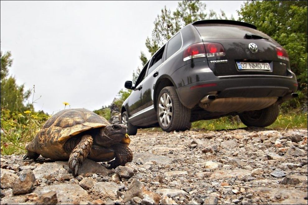 BILTUR: På de smale fjellveiene kan det plutselig komme en skilpadde ruslende Foto: Gisle Oddstad