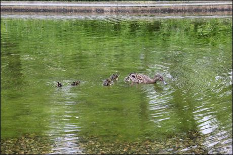 BADEAND: Stokkand-familien kom seg til slutt trygt til Slottsparken. Foto: Anders Park Framstad