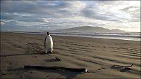 Pingvin svømte feil - endte opp på New Zealand