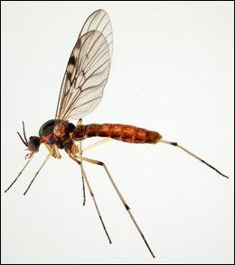 SPISER KOMPOST: Den såkalte vindusmyggen, eller Sylvicola stackelbergi, spiser blant annet kompost. Heller ikke den er tidligere rapportert i Norge, men er ifølge Geir Søli relativt vanlig mange steder. Foto: Karsten Sund, Naturhistorisk museum
