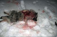 Elghunden Wendy (9) drept av ulv i Oslo