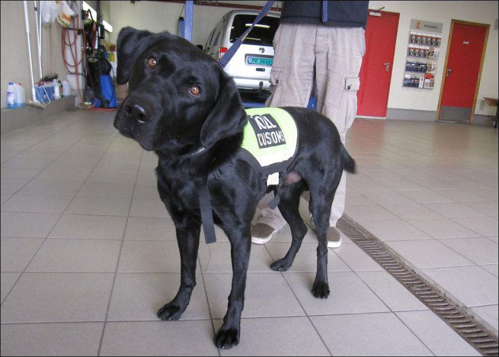 SNIFF DOG: Labradoren Sniff (3) var på vakt på en av sine første dager på jobb. Da fikk han avslørt selveste Snoop Dogg, som smuglet penger og marihuana til Norge. FOto: FRIDTJOF NYGAARD / VG