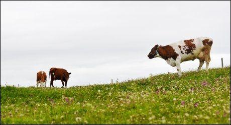 KAN MELKE: Norske kuer, her i Ålesund, kan lage mer smør - hvis bøndene får lov, sier stormelkebonder. Foto: Gøran Bohlin