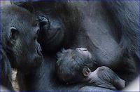 Kjent gorilla hengte seg ved et uhell
