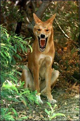 ROVDYR: Dette bildet levner liten tvil om at dingoen kan være farlig. Foto: AP