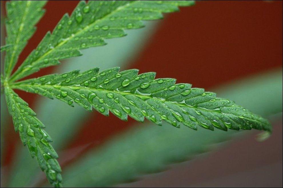 I LEGEMIDDEL: For første gang er et legemiddel med cannabis godkjent i Norge. Foto: Afp