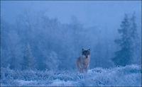 Kan bli født ulveunger i Østmarka til våren