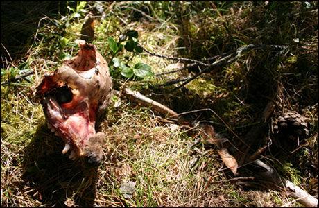 DREPT BJØRNEUNGE: Skalle av bjørneunge funnet på sted der hannbjørn har angrepet en hunnbjørn med unger. Foto: Sam Steyaert
