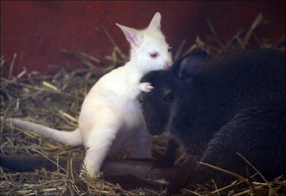 AVLIVET: De seks kenguruene i Dyreparken i Kristiansand, deriblant albino-kenguruen som ble født i 2009 (bildet), har måttet bøte med livet for å gjøre plass til geparder. Foto: Tor Erik Schrøder / SCANPIX
