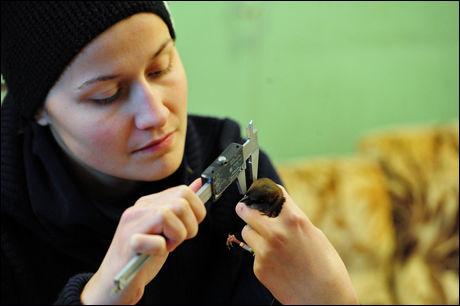 VIKTIG FLEKK: Den svarte flekken på brystet til gråspurvhannen er viktig: Jo større flekk, jo mer parring. Foto: Henrik Jensen