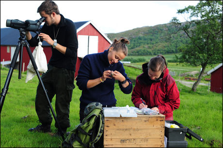 FORSKNING: Observasjon, måling og merking av gråspurv på Helgelandskysten. Foto: Henrik Jensen