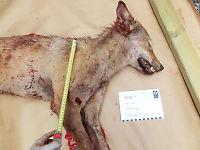 Genetisk viktig ulv skutt