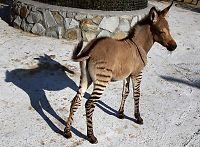 Han er en krysning av en sebra og et esel - han er et «sesel»