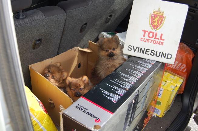 <p>I PAPPESKE: Disse valpene ble smuglet inn i Norge i august. Foto: TOLLVESENET</p>