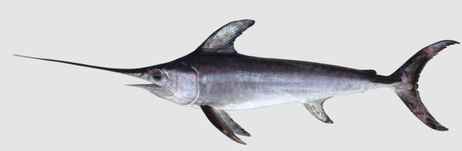 <p>FEKTER MED SVERDET: Joda, sverdfisken bruker nok sverdet sitt til å fekte med, til å jakte og jage.<br/></p>