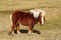 Foreslår å redde ponnier – ved å spise dem