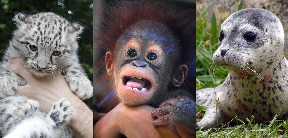 <p>STADIG FÆRRE: Krabater som disse tre blir det stadig færre av i naturen, ifølge WWF. Siden 1970 er antallet ville dyr halvvert.<br/></p><p/>