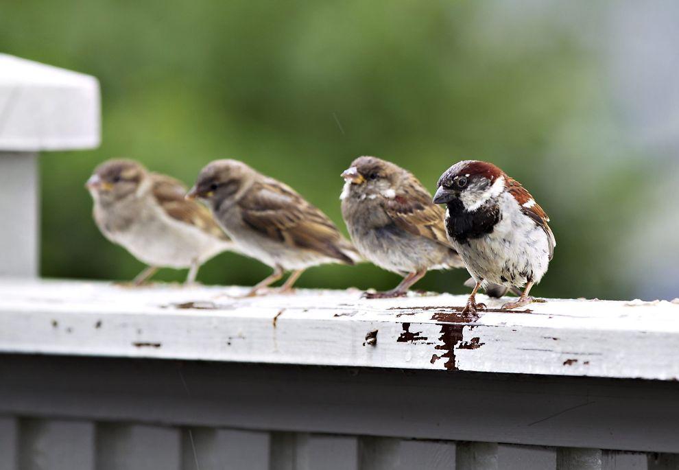 <p>FÆRRE FUGLER: Her er fire medlemmer av en spurveflokk, som er én av fugleartene det blir færre av i Europa, avbildet i Oslo i 2012.<br/></p>