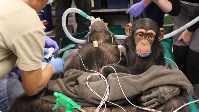 <p>STØTTER MAMMA: My følger nysgjerrig med , mens sjimpansemamma Jutta blir operert i Aalborg zoo.<br/></p>
