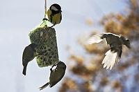 Solformørkelsen: Mindre fuglesang - mer kvekk