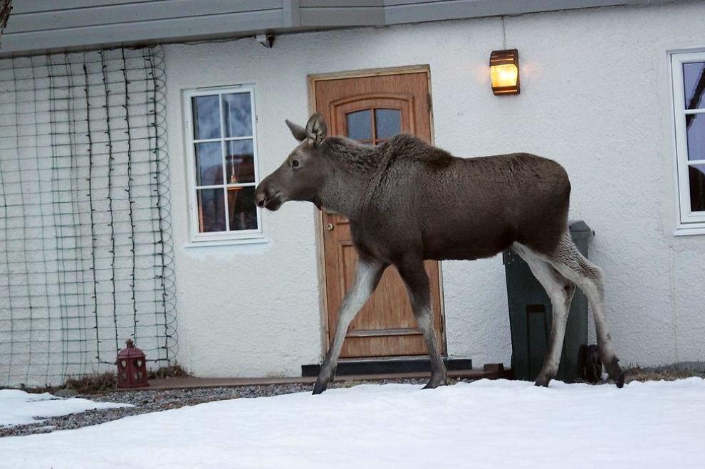 <p>STORT BESØK: Ung elg på jakt etter frokost i Risøyhamn.</p>