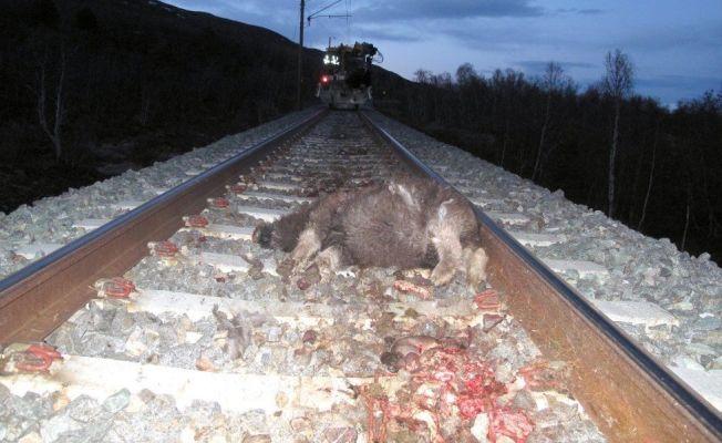 <p>PÅKJØRT: Fem moskuser ble påkjørt og drept av toget ved Hjerkinn fredag kveld.</p>