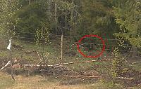 Bjørn innesperret bak bjørnesikkert gjerde sammen med 249 sau og lam