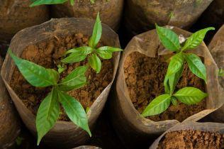 <p>EKSTRAKT: Denne planten inneholder ibogain, et hallusinogen som påvirker sentralnervesystemet.<br/></p>