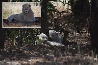 «Sterilisert» løve fikk supersøte unger