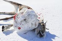 Enorm isklump festet seg til reinsdyrets radiohalsbånd
