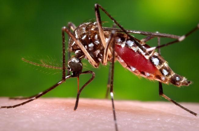 <p>SYKDOMSSPREDEREN: Det er denne typen mygg - aedes egypti, også kalt gulfebermygg - som sprer zikaviruset. De siste månedene er minst en million smittet bare i Brasil, og viruset sprer seg til stadig flere land.<br/></p>