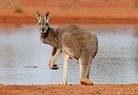 Mener 19-åring ville sende kenguru-bombe mot politiet