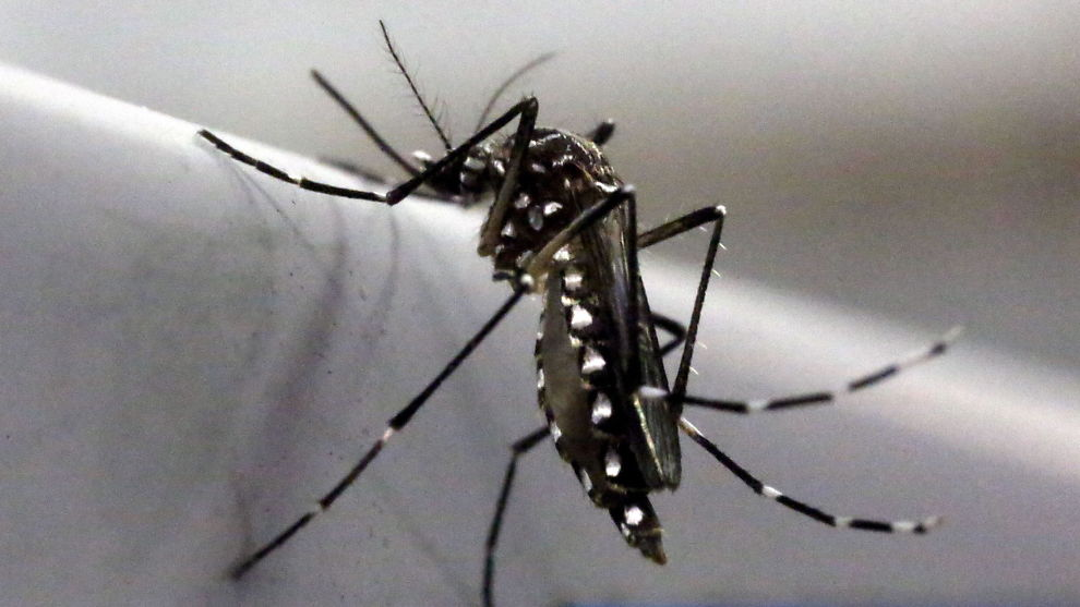 OL-TRUSSEL: Zikafeber er en sykdom forårsaket av zikavirus som overføres med mygg. Dette er en mosquito-mygg fotografert i et laboratorium i Campinas i Brasil.