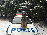Politihunden Feffen jaktet tyver på land og i vann