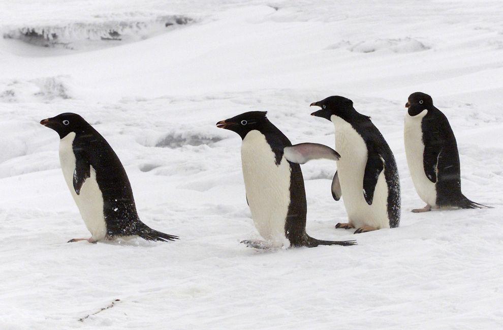 <p>PÅ KANTEN AV IS-STUPET: 150 000 Adelie-pingviner (av typen på bildet) har mistet livet etter at isfjellet de bodde på grunnstøtte. Nå er bestanden utrydningstruet.</p>