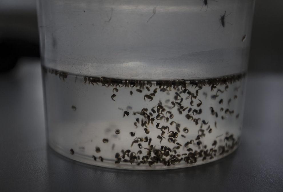 <p>SPRES MED MYGG: Ingen betviler at zika-viruset spres med mygg – som denne på Fiocruz-laben i Recife, Brasil. Men konsekvensene av viruset diskuteres heftig.</p>