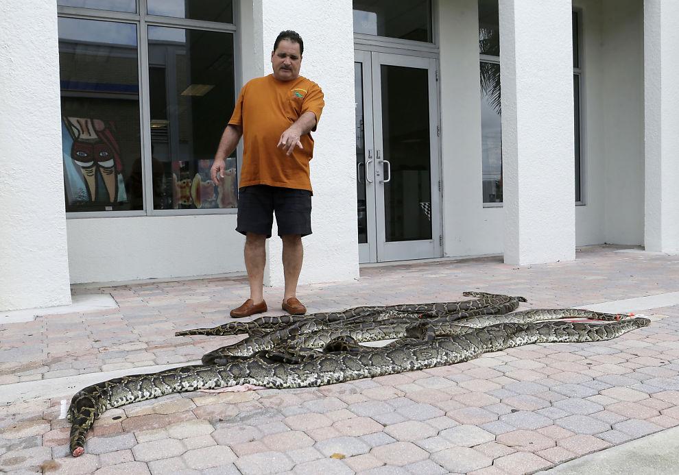 <p>SLANGEGROSSIST: Brian Wood peker på nyfelte pytoner. Han er innehaver av All American Gator Products, og har kjøpt en drøy tredjedel av slangene drept i den store slangejakten. Disse planlegger han å sy til lommebøker, vesker, belter og støvler.</p>