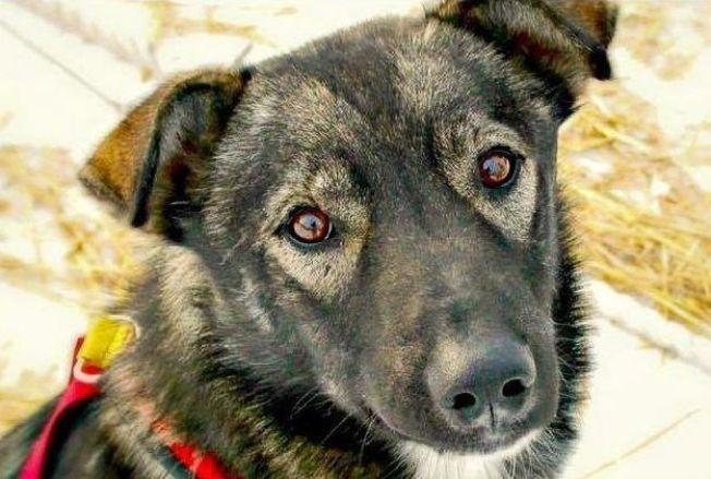 Hunden Nash som blepåkjørt og drept av scooter på Yukon-elven
