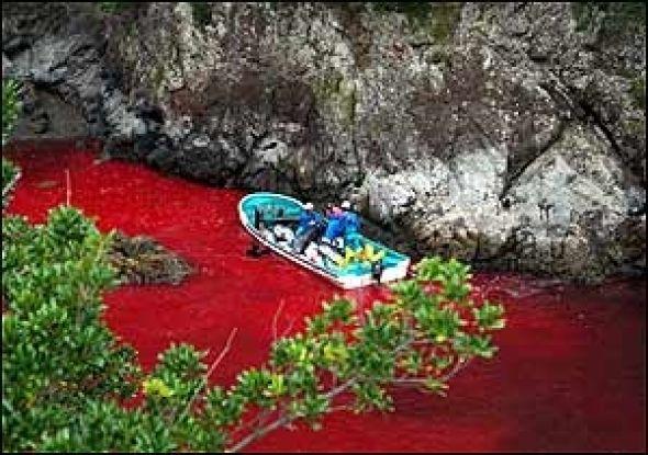 Fjerne slektninger av TV-helten «Flipper» lures inn i trange, grunne bukter, der de slaktes ned i en blodig jakt som nå er dokumentert av en dyrevernorganisasjon.