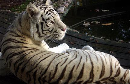 TETT PÅ: Hils pent på den bengalske hvit tigerhunden Curry (4). Foto: Dag Fonbæk